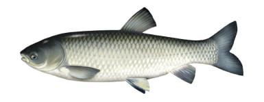 Amur - ryba amur, amury ryby,
