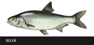 Boleñ- ryba boleñ, bolenie ryby