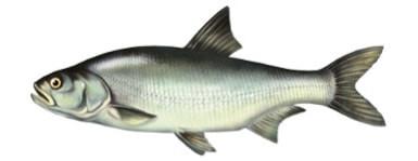 Bole�- ryba bole�, bolenie ryby