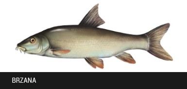 Brzana - ryba brzana, brzany ryby