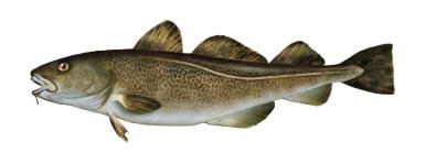 Dorsz - ryba dorsz, dorsze ryby