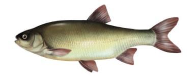 Ja� - ryba ja�, jazie ryby