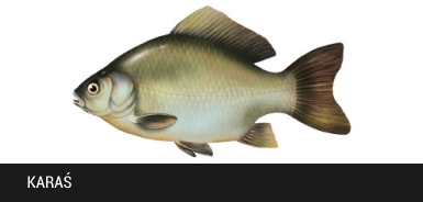 Kara� - ryba kara�, karasie ryby