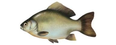 Kara¶ - ryba kara¶, karasie ryby