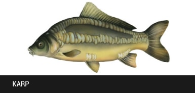 Karp - ryba karp, karpie ryby