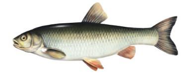 Kleñ - ryba kleñ, klenie ryby