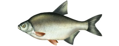 Kr±p - ryba kr±p, kr±pie ryby