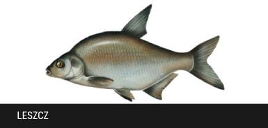 Leszcz - ryba leszcz, leszcze
