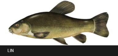 Lin - ryba lin, liny ryby