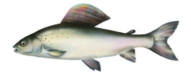 Lipie� - ryba lipie�