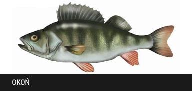 Oko� - ryba oko�, okonie ryby