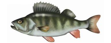 Okoñ - ryba okoñ, okonie ryby