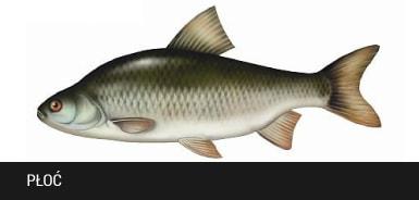 P³oæ - ryba p³oæ, p³ocie ryby