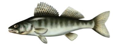 Sandacz - ryba sandacz, sandacze ryby