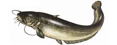 Sum - ryba sum, sumy ryby