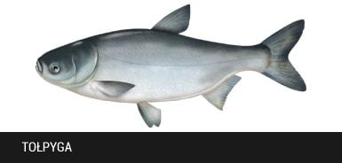 To�pyga - ryba to�pyga, to�pygi ryby
