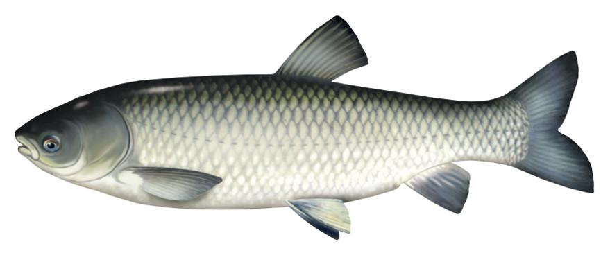 amur, ryba, amura, ryby, amury ryby