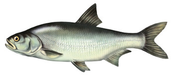 boleñ, ryby, bolen, ryba, bolenie ryby