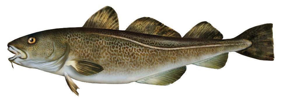 dorsz, ryba, ryby, dorsze, dorsze ryby