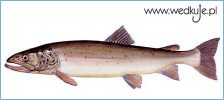 g³owacica, ryba, glowacica, ryby