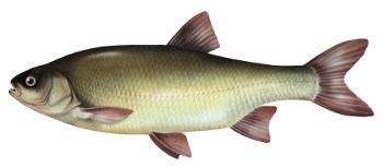 ja¼, ryby, jaz, ryba, jazi, jazie ryby