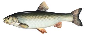 kleñ, ryba, klen, ryby, klenie