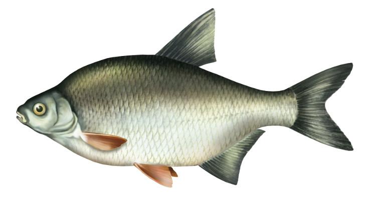 kr±p, ryby, krap, ryba, kr±pie ryby