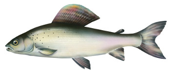 lipieñ, ryby, lipien, ryba