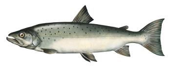 ³oso¶, loso¶, ryby, ³osos, ³ososie ryby