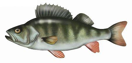 okoñ, okon, ryby, okonie
