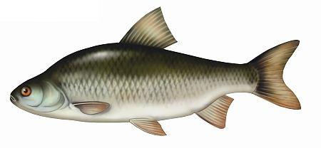 p³oæ, ryby, ploc, ryba, p³ocie ryby