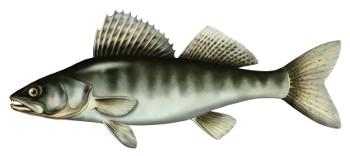 sandacz, ryba, ryby, sandacze ryby