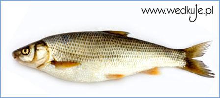 ¶winka, ryby, swinka, ryba