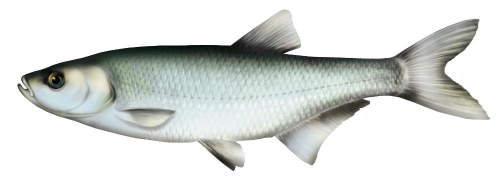 ukleja, ryba, ukleje ryby