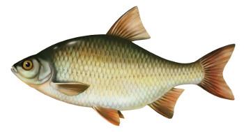 wzdrêga, ryby, ryba, wzdrêgi ryby