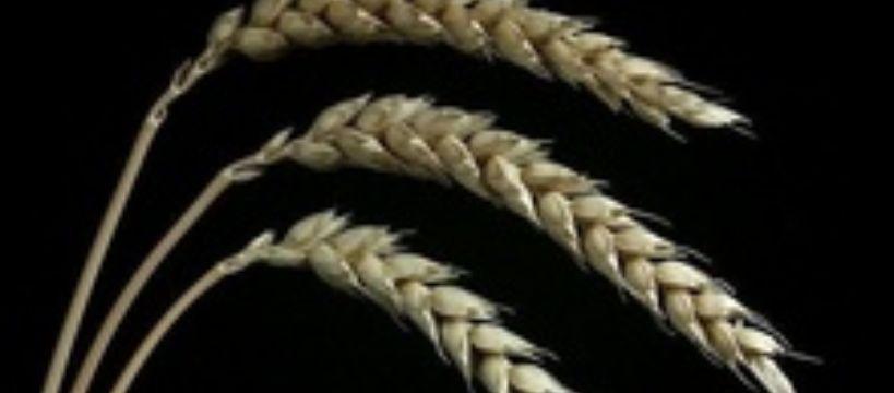 Mro�ona pszenica