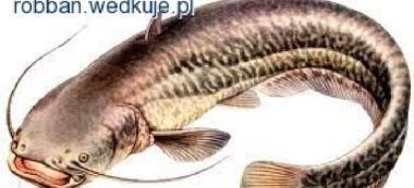 Sum- ryba ¿ycia-moja wielka przygoda z sumem.