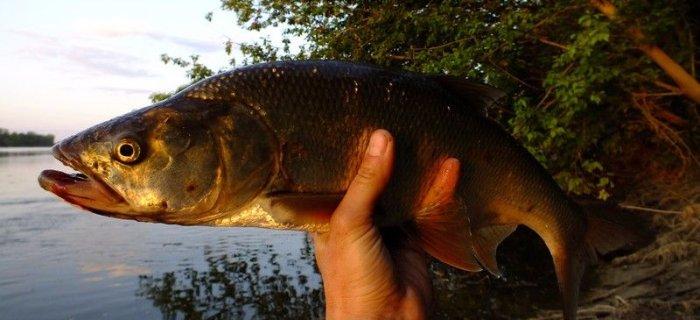 Ryba Aspius aspius, czyli Rapa czyli Boleñ