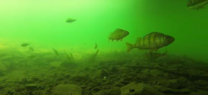 Okoñ pod wod± - FILM