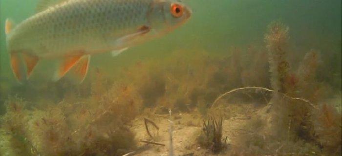 Obserwacje podwodnego ¶wiata - szczupaki, okonie i p³ocie w jeziorze PZW.