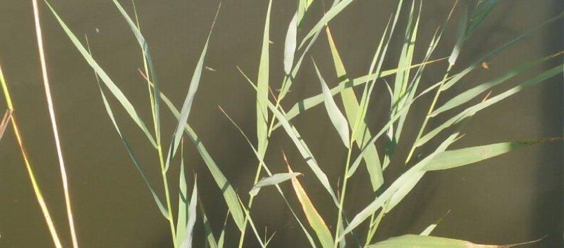 Sposób na amura - amur z powierzchni