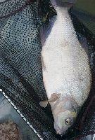 Kogut na bia�� ryba