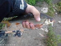 Kana� Gliwicki ryby