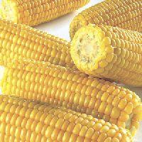Kukurydza – wabik na bia³± rybê